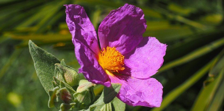 kwiata zioła czystka
