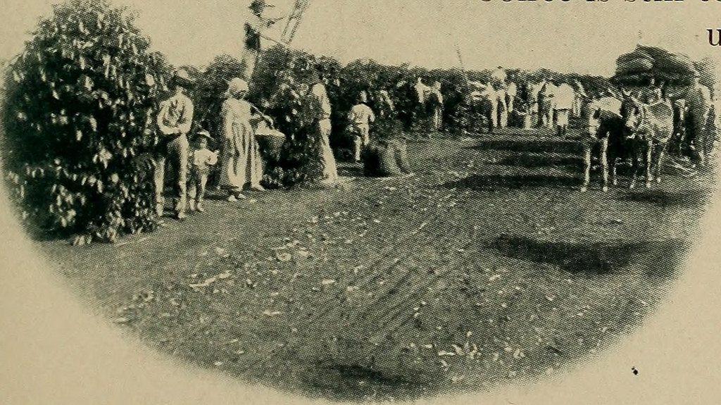 Pierwsze plantacje Yerba Mate w San Paulo