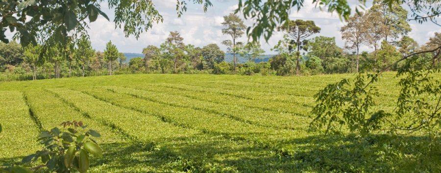Plantacja Yerba Mate w Argentynie