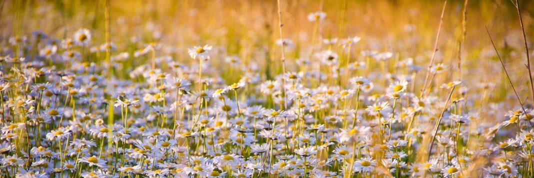 Rumianek to naturalnie występujące zioło na polanach i łąkach.